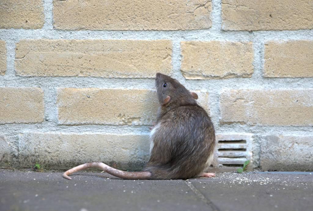prolifération des rats à Bruxelles